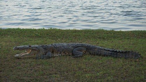 crocodile  nature  animals