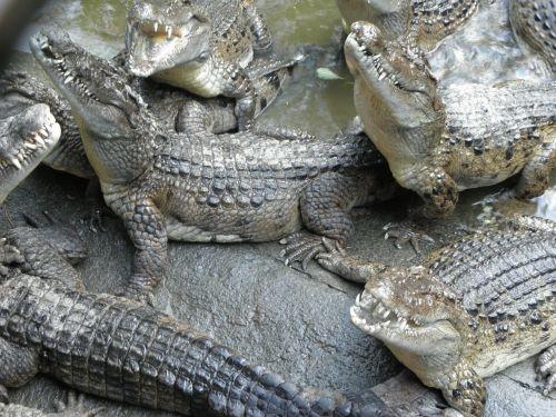 crocodile reptile philippines crocodile