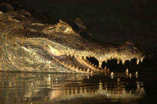 crocodile venezuela llanos