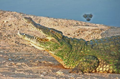 crocodile reptile wildlife