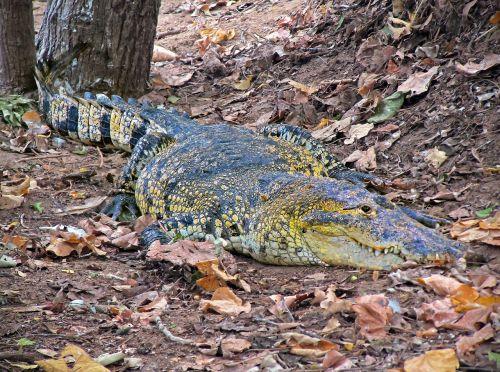 crocodile caiman wild