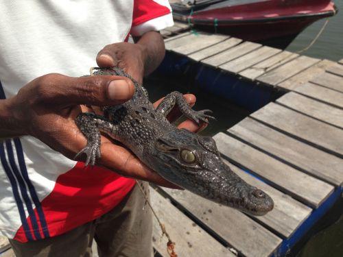 crocodile baby in hands sri lanka the cub