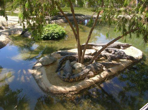 crocodile park,island,crocodile,crocodiles,gad,animals,alligator,gator