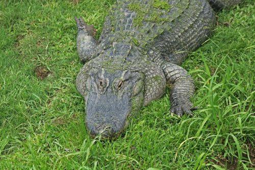 Crocodile With Green Algae On Back
