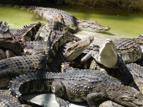 crocodiles crocodile farm summer