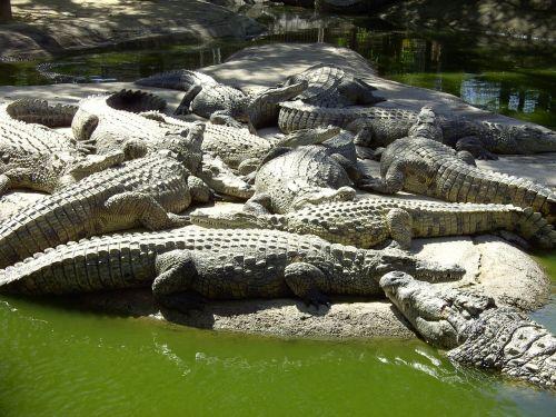krokodilai,gamta,ropliai,pavojingas,laukinė gamta,aligatorius,zoologijos sodas