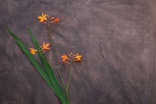 crocosmia flower schwertliliengewaechs