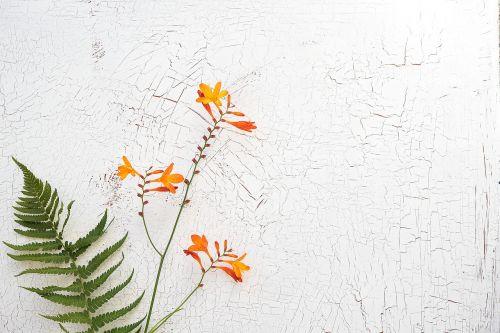 crocosmia schwertliliengewaechs ornamental plant