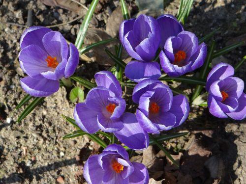 crocus spring nature