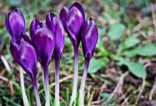 crocus bloom purple