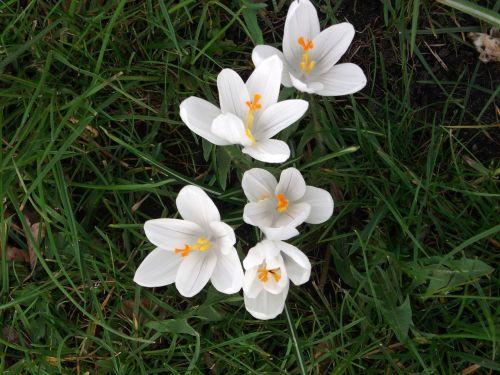crocus spring white