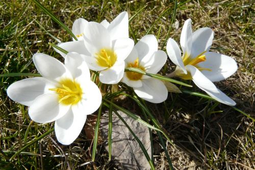 crocus flowers white