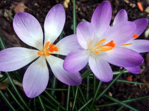 crocus iridaceae purple