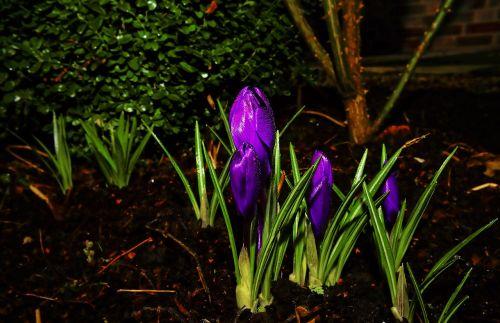 Crocus,žiedas,žydėti,pavasaris,violetinė,gėlė,gėlė violetinė,augalas,violetinė,Uždaryti,geliu lova,gamta,pavasario pranašys
