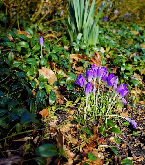 Crocus,žiedas,žydėti,pavasaris,violetinė,gėlė,gėlė violetinė,augalas,violetinė,Uždaryti,geliu lova,gamta,pavasario pranašys,gražus,sodas,ankstyvas bloomer