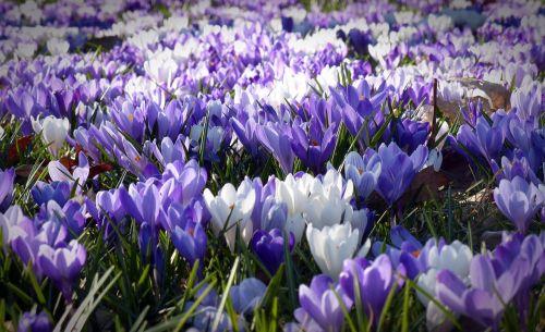 crocus garden flowers