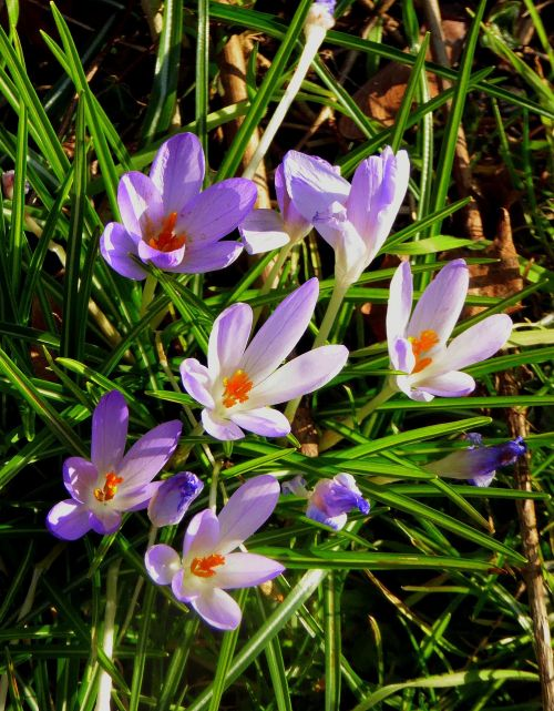 crocus flowers spring flower