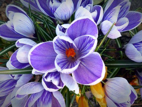 Crocus,gėlė,pavasaris,gamta,violetinė,purpurinė gėlė,žiedas,žydėti,violetinė,pavasario gėlė,sodas,Gamtos stebūklai