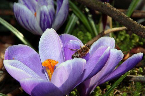 crocus harbinger of spring purple