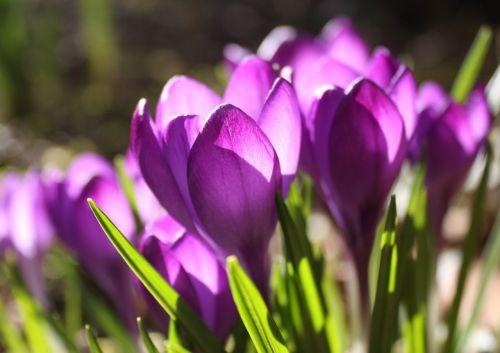 crocus violet spring