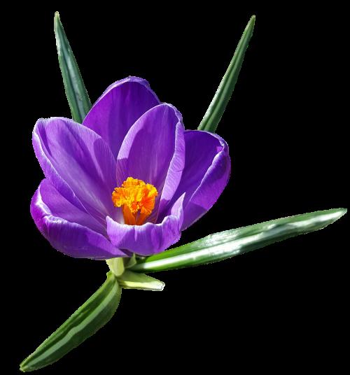 crocus flower exposed