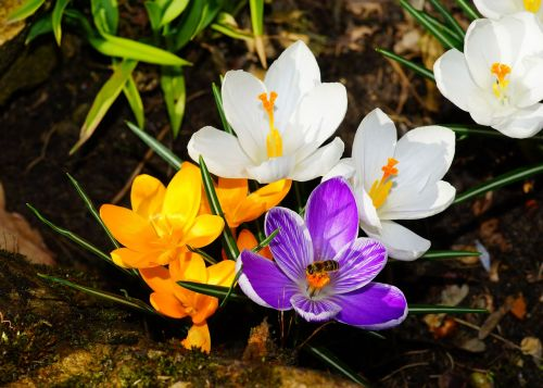crocus flowers spring