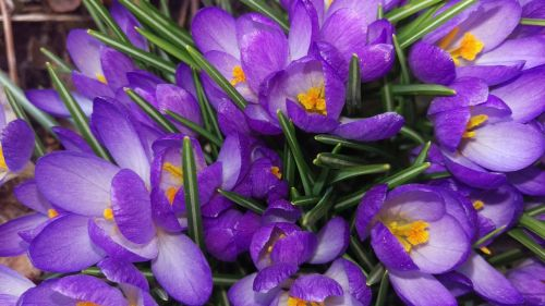 crocus perennial spring flowers