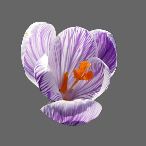 crocus blossom bloom