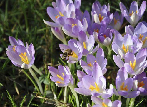 crocus bee flower