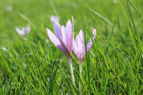crocus meadow saffron flower