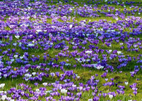 crocus spring spring crocus