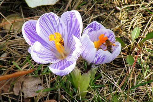 crocus bees insect
