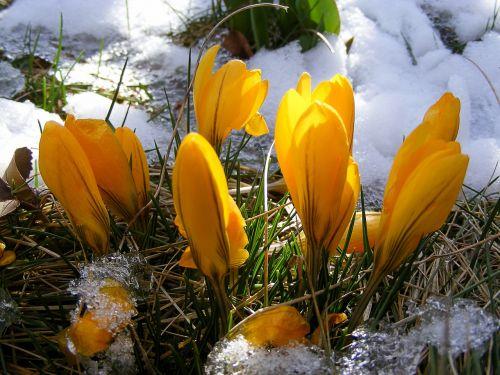 Crocus,gėlė,geltona,pavasaris,gėlės,žydėti,sodas,ankstyvas bloomer,pavasario gėlė,pavasario pranašys,pieva,Uždaryti,sniegas,žolė,šaltas,gamta,augalas