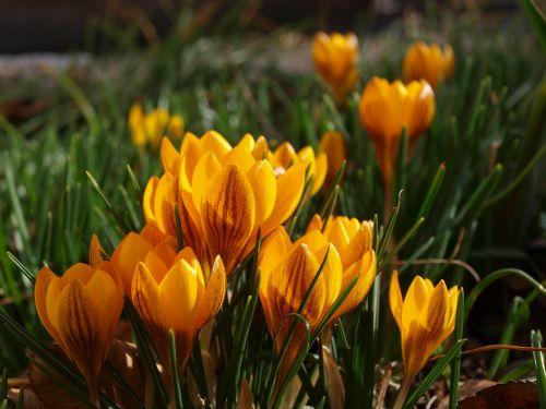 crocus yellow bloom