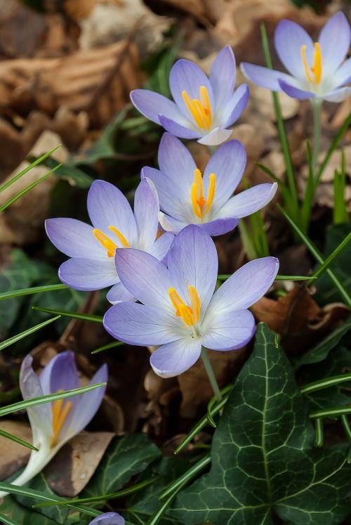 crocus spring crocuses
