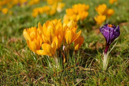 crocus flowers spring flowers