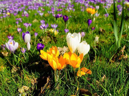 crocus garden spring