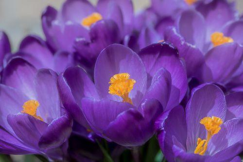 Crocus,gėlė,pavasaris,bühen,violetinė,žiedas,žydėti,pavasario gėlė,tuti,bičių žiedadulkės,spalvinga,šviesa