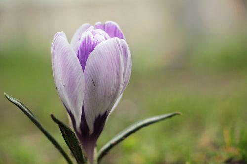 crocus flower spring