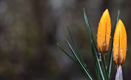 crocus flower raindrop