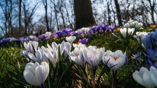 crocus flowers outdoor
