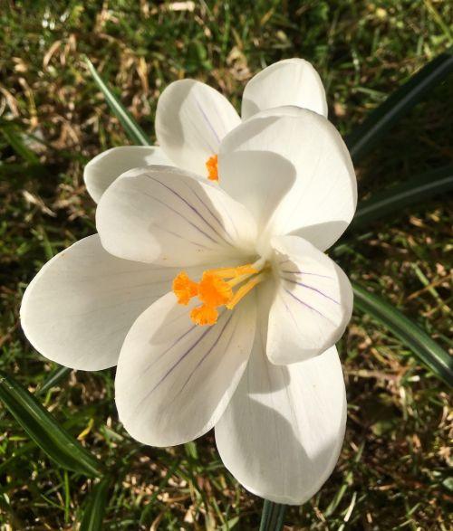 Crocus,gėlė,bulviniai augalai,pavasario gėlė,saulės šviesa,sodas,mūsų ženklai,augalas