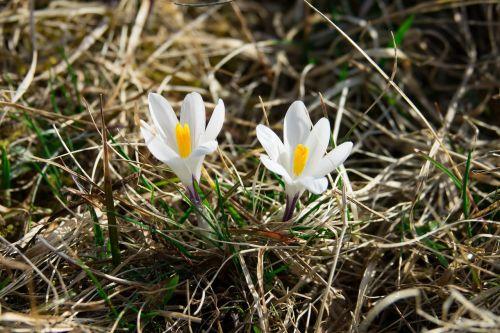 Crocus,balta,frühlingsanfang,pavasaris,žiedas,žydėti,gėlė,žydėti,pavasario gėlė,gamta,Uždaryti,augalas,gėlės,pavasario požymiai,saulės šviesa,grožis,frühlingsblüher,saldus,pilnai žydėti