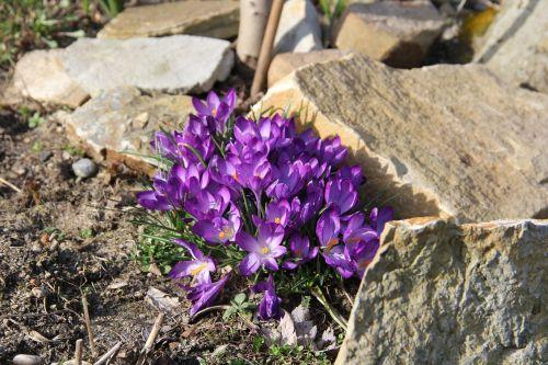 crocus spring flowers spring
