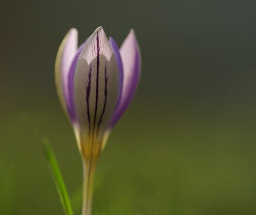 crocus purple spring