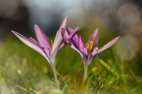 crocus wild purple