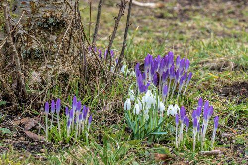 crocus snowdrop spring flower