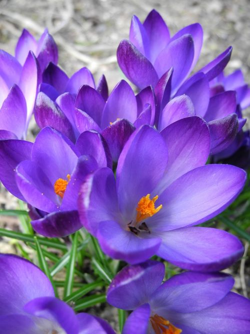 crocus crocus purple flowers