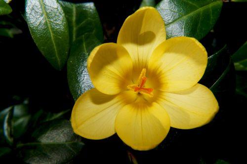 crocus flower blossom