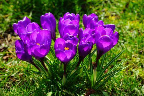 crocus flowers purple